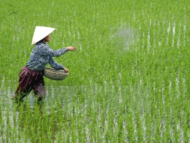 Cảnh báo về việc nông dân dùng xi măng bón cho lúa - ảnh 1