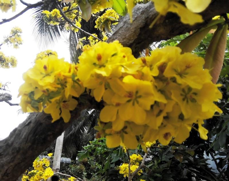 Từng chùm hoa mọc ra từ thân...