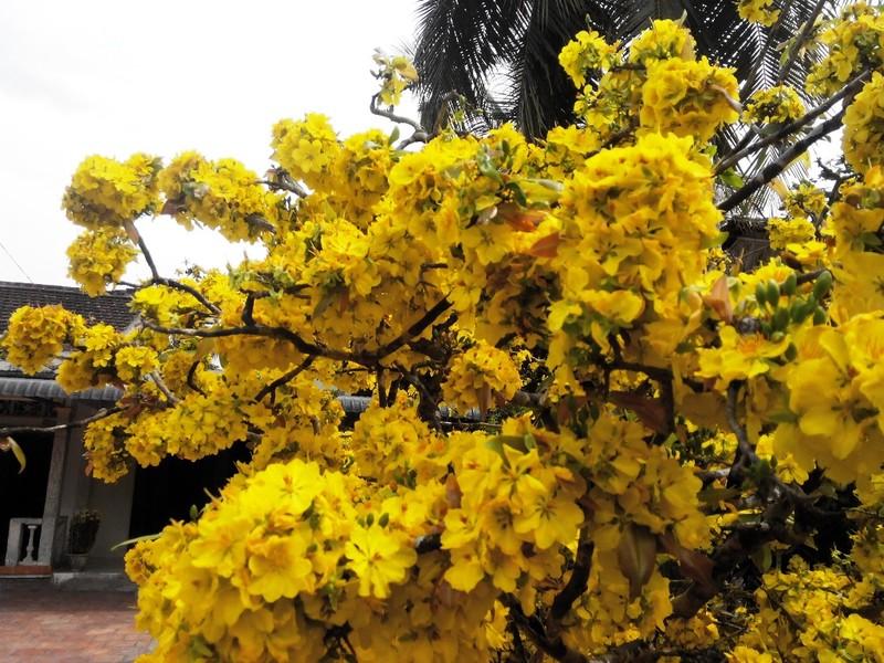 Hoa nở cuồn cuộn trên các cành, thân... không thấy lá và cành