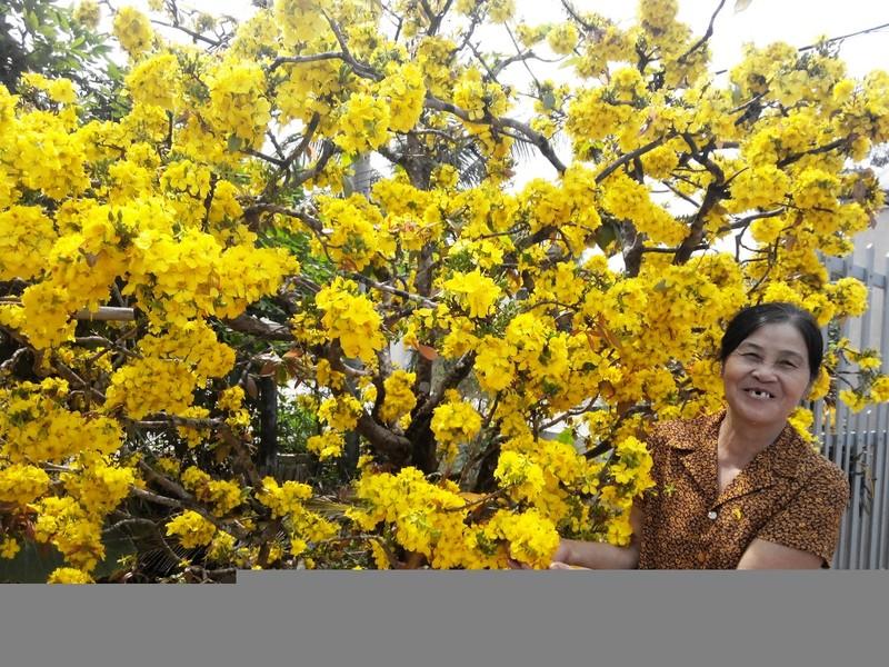 Bà Hoa cho biết, năm nào cây mai cũng nỡ tưng bừng như thế này