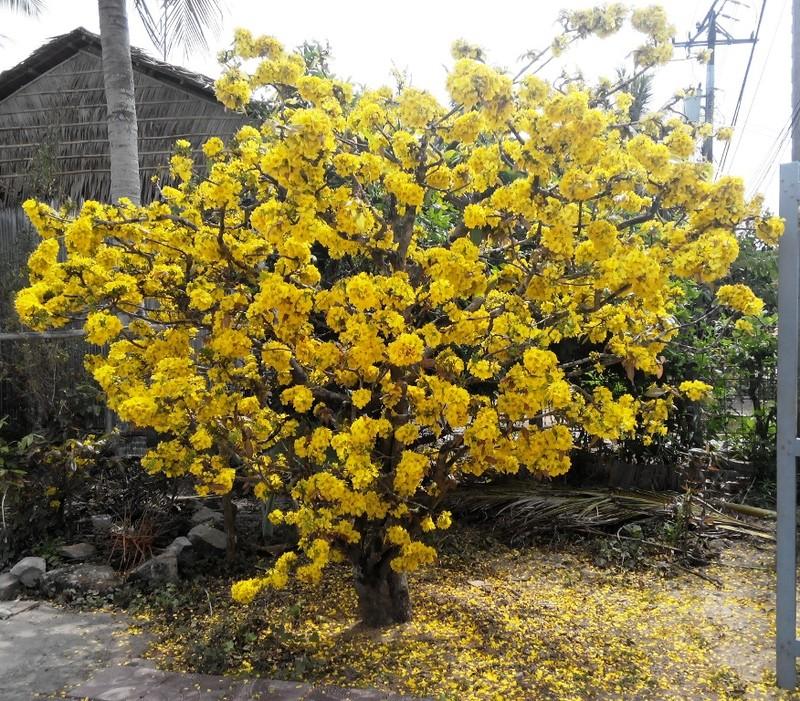 Cây mai gần 100 tuổi của bà Hoa vẫn còn sung sức bung nở vàng rực