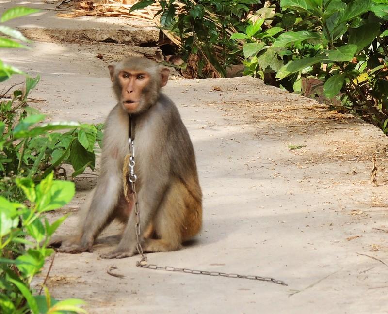 Đã xử lý được con khỉ sổng chuồng cắn liên tiếp nhiều người - ảnh 1