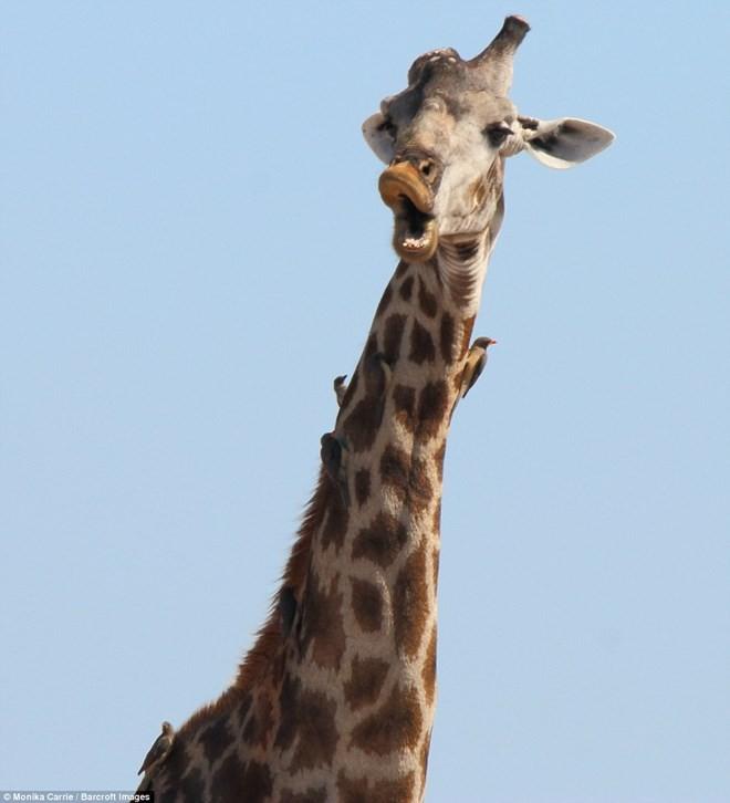 Khoảnh khắc cực kỳ hài hước của các loài động vật hoang dã - ảnh 8