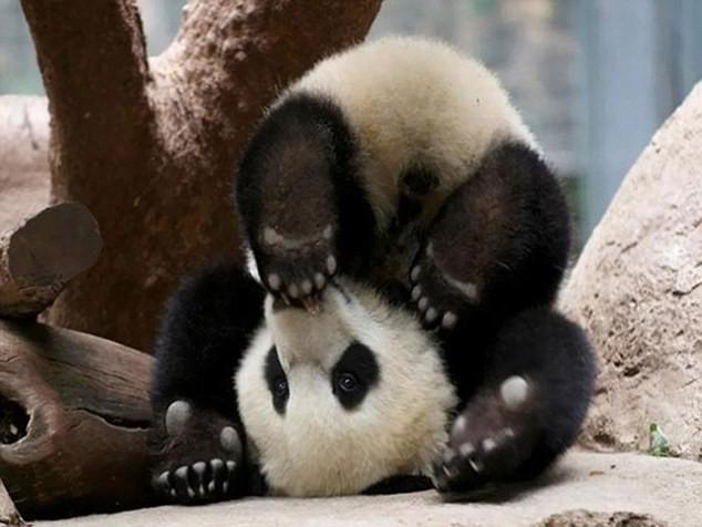 Cùng thư giãn với những động tác yoga 'siêu chuẩn' của loài vật - ảnh 9
