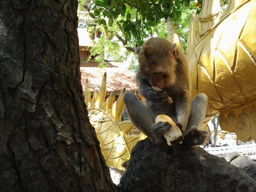 Khỉ trên núi Châu Thới ở Bình Dương bị săn trộm - ảnh 2