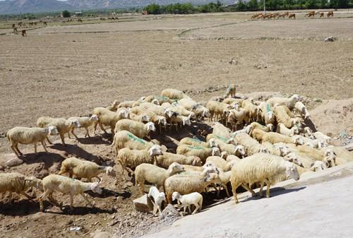 """Cừu, dê gục ngã ở """"rốn hạn"""" Ninh Thuận - ảnh 1"""