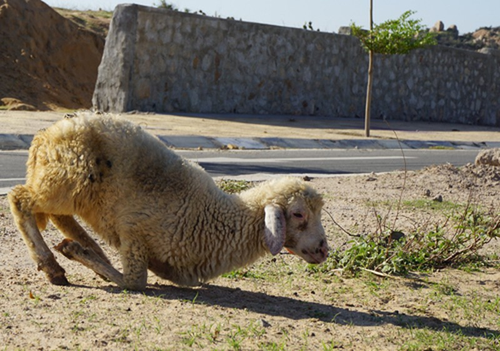 """Cừu, dê gục ngã ở """"rốn hạn"""" Ninh Thuận - ảnh 4"""