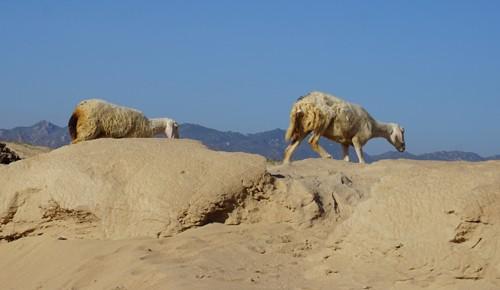 """Cừu, dê gục ngã ở """"rốn hạn"""" Ninh Thuận - ảnh 3"""