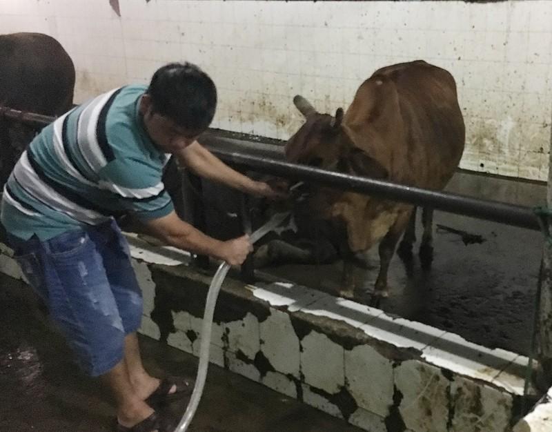 Bắt cơ sở bơm nước vào trâu bò trước khi giết mổ - ảnh 1