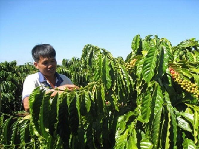Agribank chủ lực đầu tư nguồn vốn tái canh cây cà phê  - ảnh 1