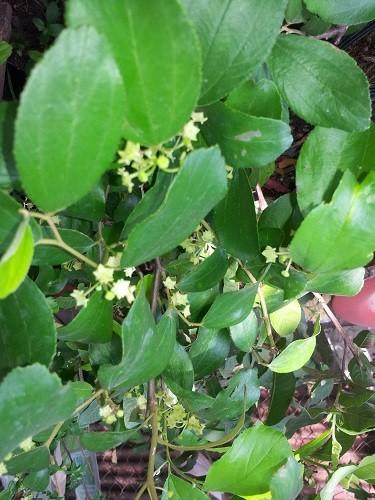 Giống táo mới trồng trong chậu cho nhiều trái - ảnh 1