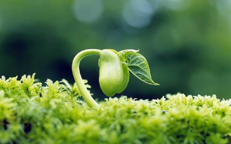 Tinh chất mầm đậu nành gây hại cho sức khoẻ? - ảnh 1