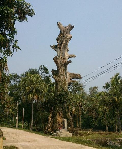 Cây gạo gần 400 năm tuổi ở làng Cẩm Bào chết sau khi được vinh danh Cây Di sản