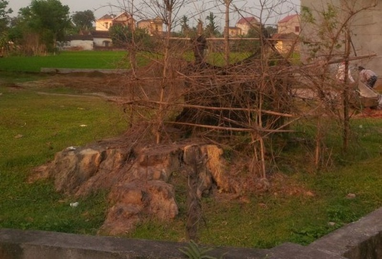 Cây gạo hơn 200 năm tuổi ở làng Hổ Đàm, xã Thiệu Lý cũng chịu chung số phận với cây gạo gần 400 năm tuổi sau khi được vinh danh