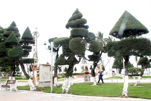Cứu lấy hàng phi lao cổ thụ dọc bờ biển Nha Trang - ảnh 9