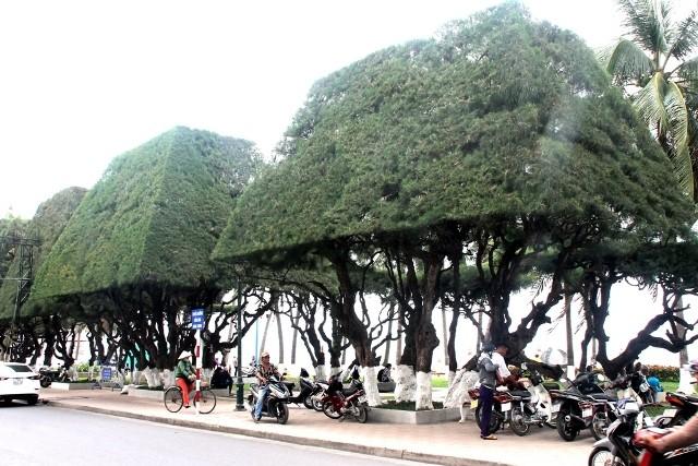Cứu lấy hàng phi lao cổ thụ dọc bờ biển Nha Trang - ảnh 3