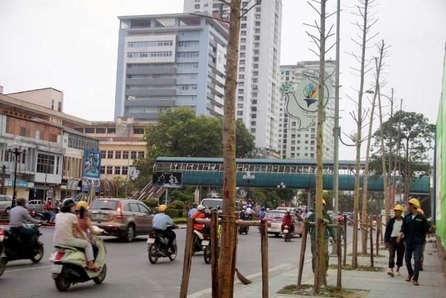 Hàng cây mỡ trên đường Nguyễn Chí Thanh - Hà Nội chết khô  - ảnh 3
