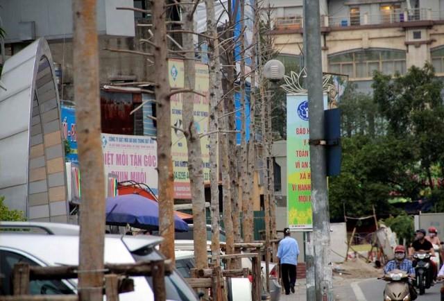 Hàng cây mỡ trên đường Nguyễn Chí Thanh - Hà Nội chết khô  - ảnh 7