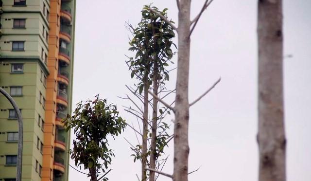 Hàng cây mỡ trên đường Nguyễn Chí Thanh - Hà Nội chết khô  - ảnh 8