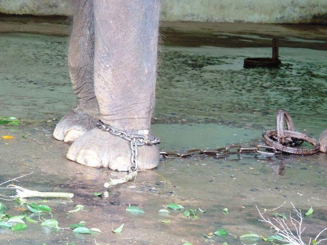 Tháo xích cho Voi ở vườn thú Hà Nội - ảnh 2