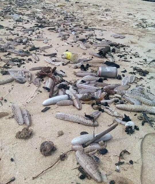 Rất nhiều hải sâm trôi dạt vào bờ biển Phú Quốc - Ảnh: Lê Khoa