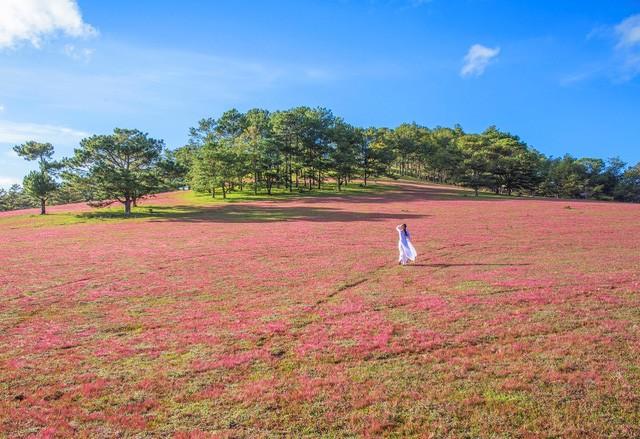 Chiêm ngưỡng mùa cỏ hồng đẹp như tranh vẽ ở Đà Lạt - ảnh 6
