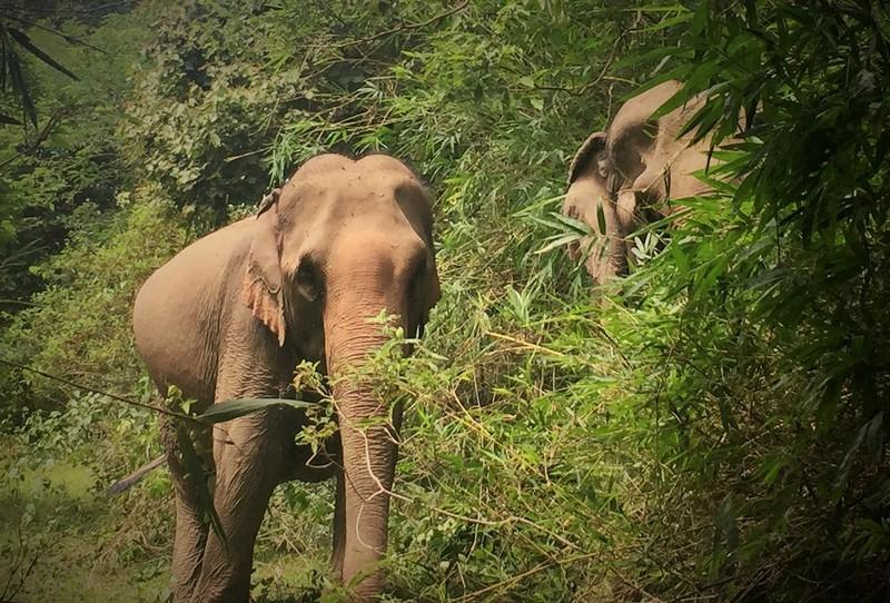 'Bà bầu' voi nhà đầu tiên ở Đắk Lắk chuẩn bị vượt cạn - ảnh 4