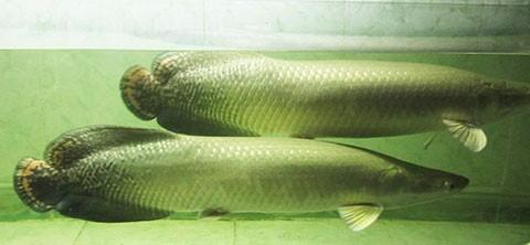Hai con cá hải tượng mất tích bí ẩn - ảnh 1