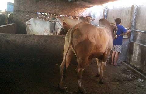 'Tuyên chiến' với bò bơm nước! - ảnh 1