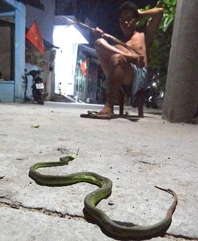 Sài Gòn xuất hiện nhiều rắn  - ảnh 1
