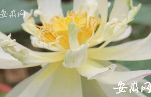 Hạt sen 600 tuổi bất ngờ nở hoa  - ảnh 1