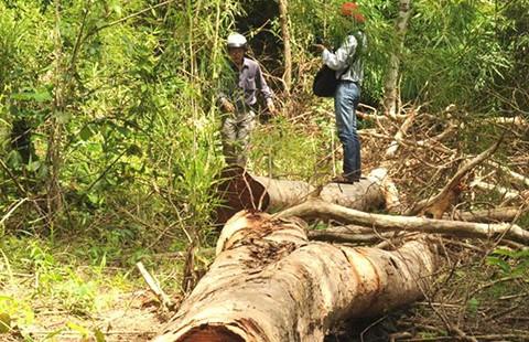Vườn QG Yok Đôn: Điều tra vụ hai cây gỗ hương cổ thụ bị đốn hạ - ảnh 1