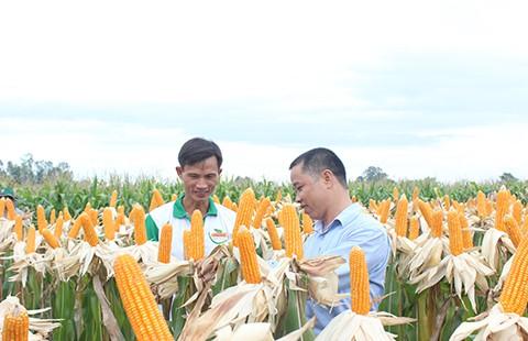 Nông dân Việt 'mê' bắp biến đổi gen - ảnh 1
