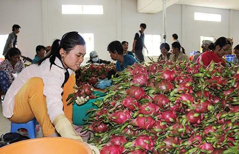Trái cây Thái 'mượn' Việt Nam tiến vào Trung Quốc - ảnh 1