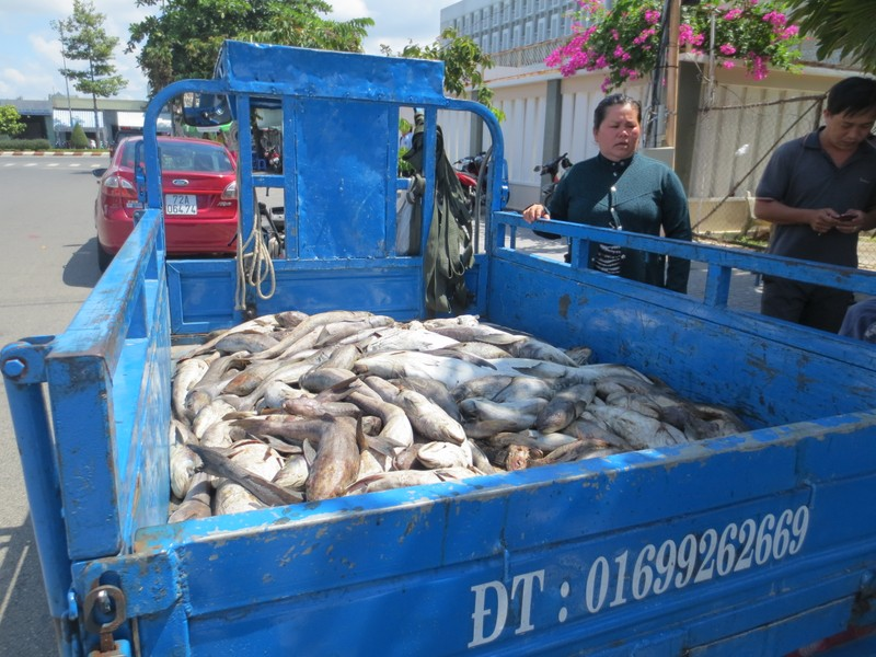 Dân lại chở cá chết đề nghị tỉnh Bà Rịa-Vũng Tàu giải quyết - ảnh 1