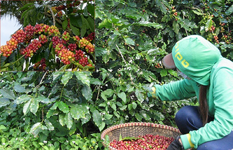 Cà phê Việt ngon số 1 thế giới bị 'ruồng bỏ' - ảnh 1