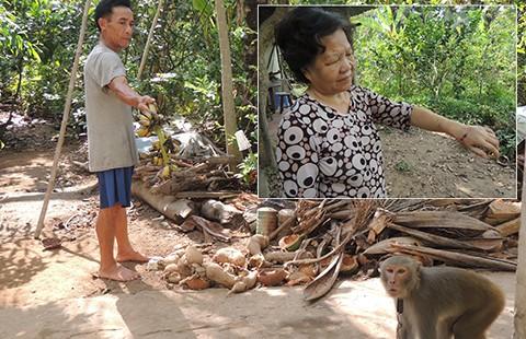 Rắc rối xử lý con khỉ nuôi sổng chuồng  - ảnh 1