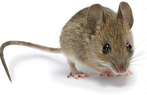 Bức xạ điện thoại gây ung thư ở chuột - ảnh 1