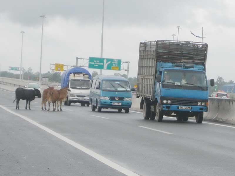 Trâu, bò lang thang trên cao tốc TP.HCM - ảnh 2