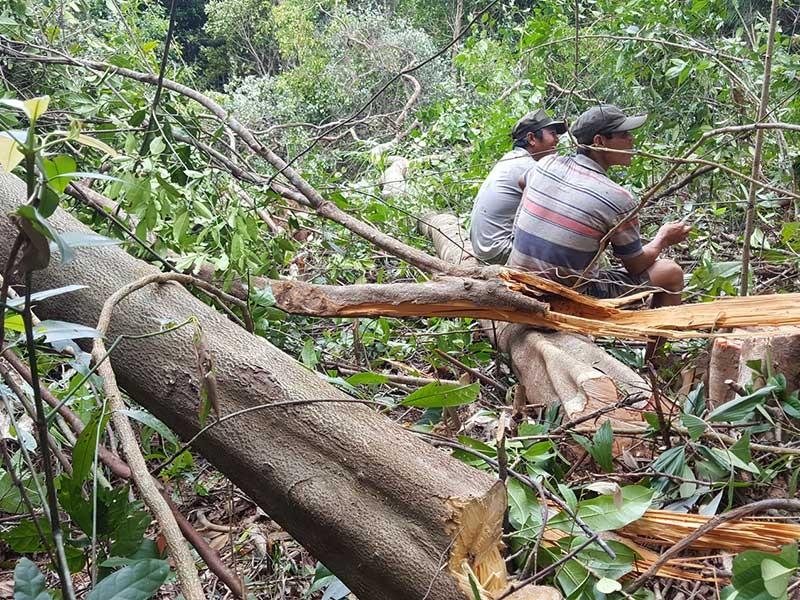 Xóa hàng trăm hecta rừng để… nuôi bò - ảnh 1