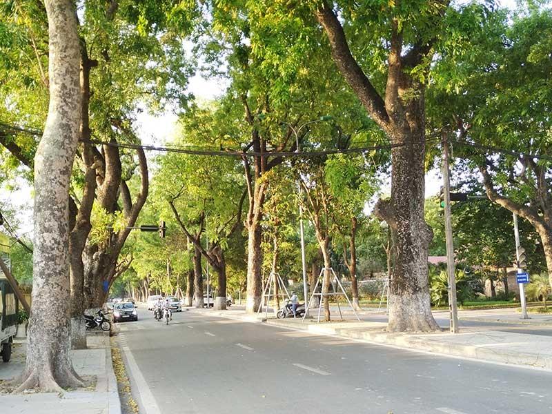 Bí thư Hà Nội: Tránh lạm dụng chặt cây xanh! - ảnh 1