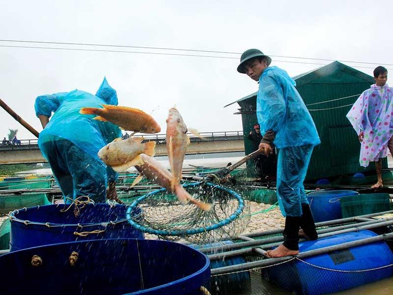 Huế: Lũ về, hàng trăm tấn cá chết - ảnh 1