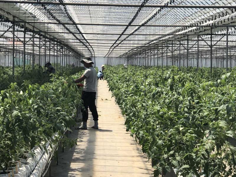 Đi Hàn Quốc hái ớt lương 33 triệu/tháng