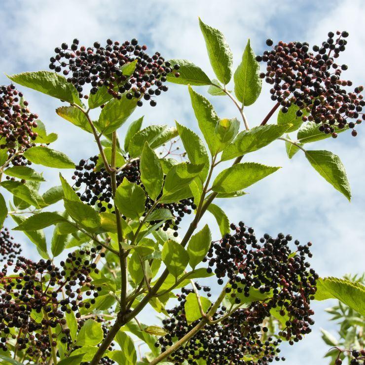 7 loại cây rau củ rất độc hại trong vườn nhà - ảnh 7