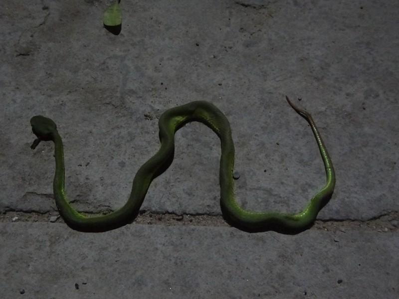 Thực hư tin đồn có người thả rắn lục đuôi đỏ ở TP.HCM - ảnh 1