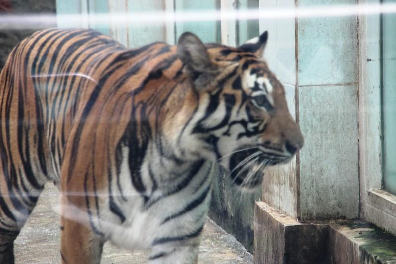 Thực hư hổ ở Thảo Cầm Viên Sài Gòn bị bỏ đói, tê giác bị mài sừng - ảnh 2