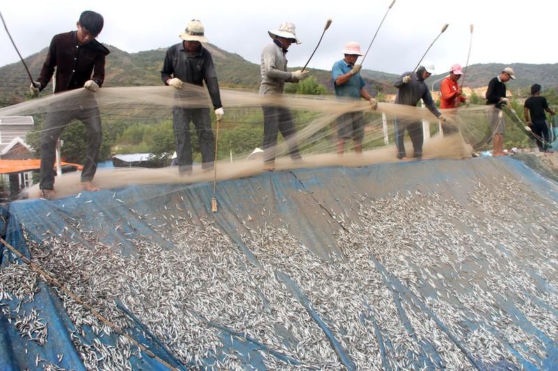 Ngư dân Hòn Rớ nô nức được mùa cá cơm - ảnh 3