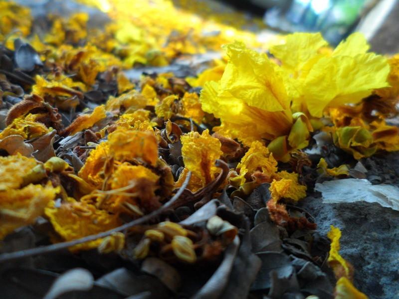 Sài Gòn đẹp nao lòng mùa hoa điệp - ảnh 7