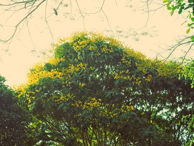 Sài Gòn đẹp nao lòng mùa hoa điệp - ảnh 1