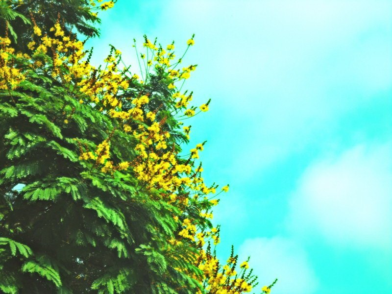 Sài Gòn đẹp nao lòng mùa hoa điệp - ảnh 2